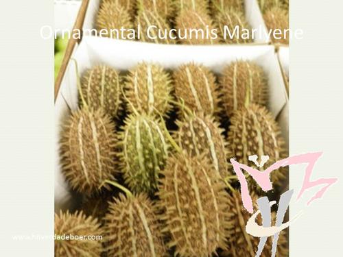 Ornamental Cucumis Marlyene