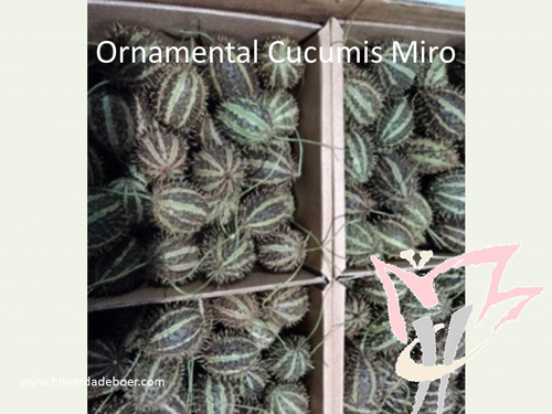 Ornamental Cucumis Miro