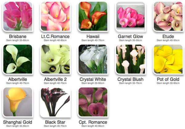 calla lilies color guide