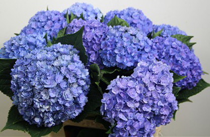 Hydrangea Blue You Me Together