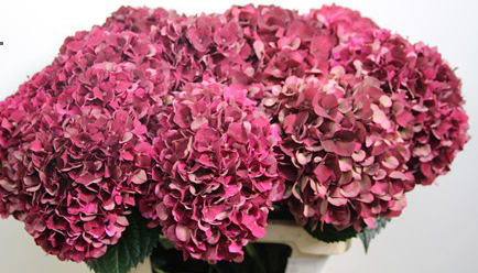 burgundy hydrangea