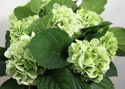 light green hydrangea