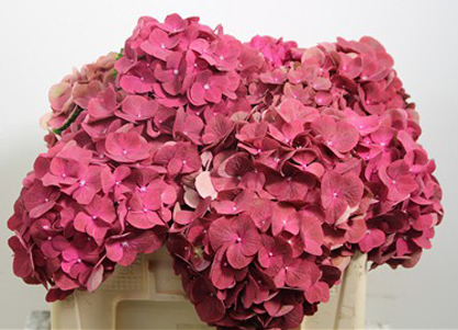 Colors Of Hydrangeas Flirty Fleurs The Florist Blog