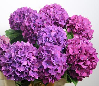 bright lavender hydrangea