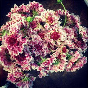 pink and white scabiosa