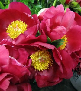 red with yellow center open peonies