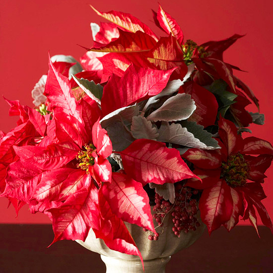 red and white poinsettias with dusty miller leaves