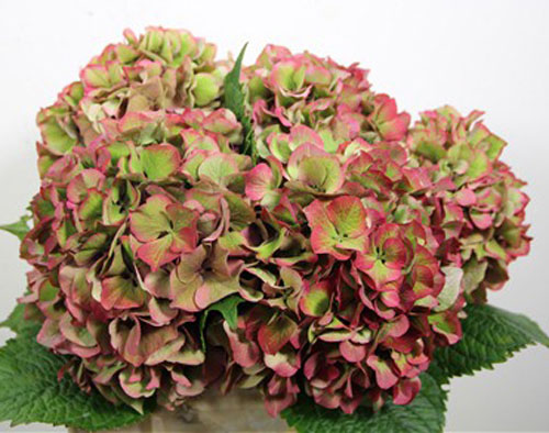 red and green hydrangea