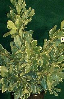 green and white leaf