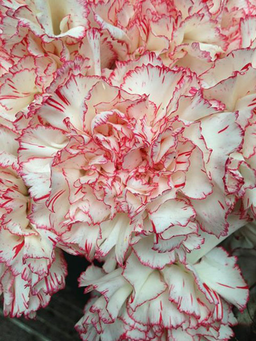 white with red tip carnations