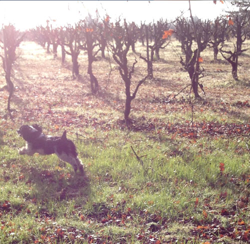 1/6 - My Cocker Spaniel, Matisse, is a huge fan of running at full speed thru the vineyards. The light is magical the way it filters through a light fog.