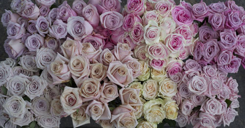 blush and pink roses