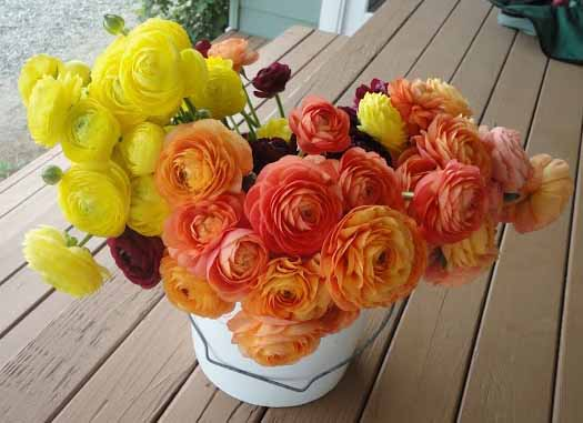 orange and yellow ranunculus by triple wren farms