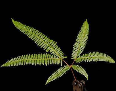 Broadleaf Umbrella fern