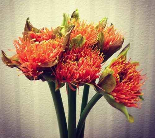 Dutch Flower Line - Heamanthis
