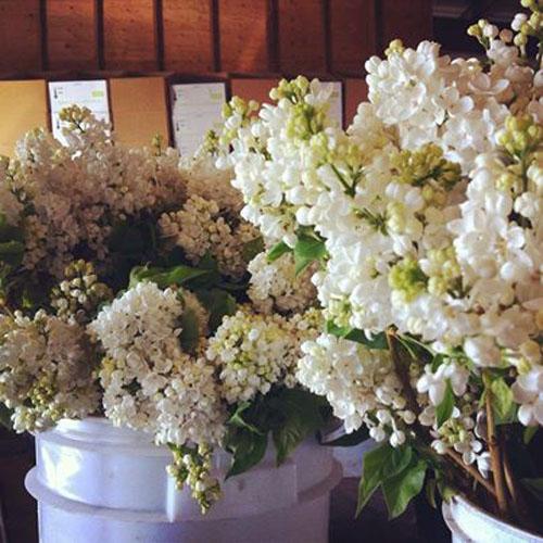 Florabundance Wholesale - White Lilacs