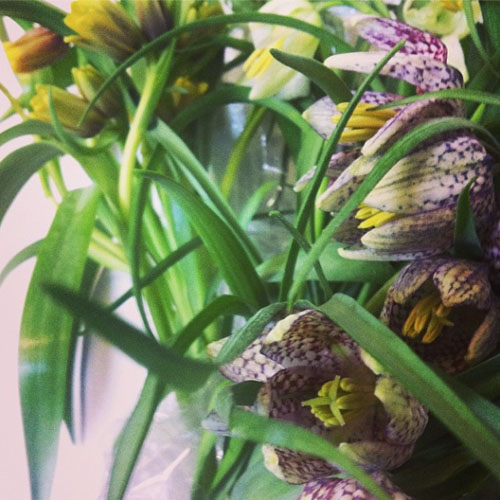 Florabundance Wholesale - Fritillaria