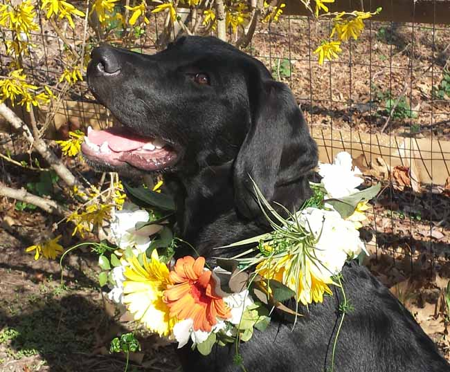 Della Blooms, Hank the lab with a flower wreath
