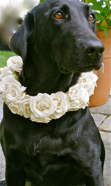 Ellen Snyder Floral Design Julie Ireland Photography, Black lab with a floral collar of all white spray roses