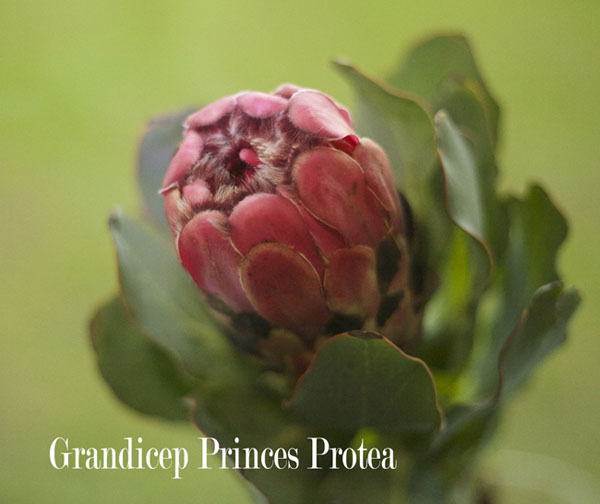 Grandicep Princes Protea by Resendiz Brothers