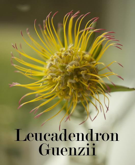 Resendiz Brothers Protea - Leucadendron Guenzii