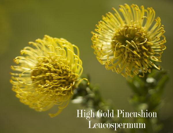High Gold Pincushion Leucospermum Resendiz Brothers