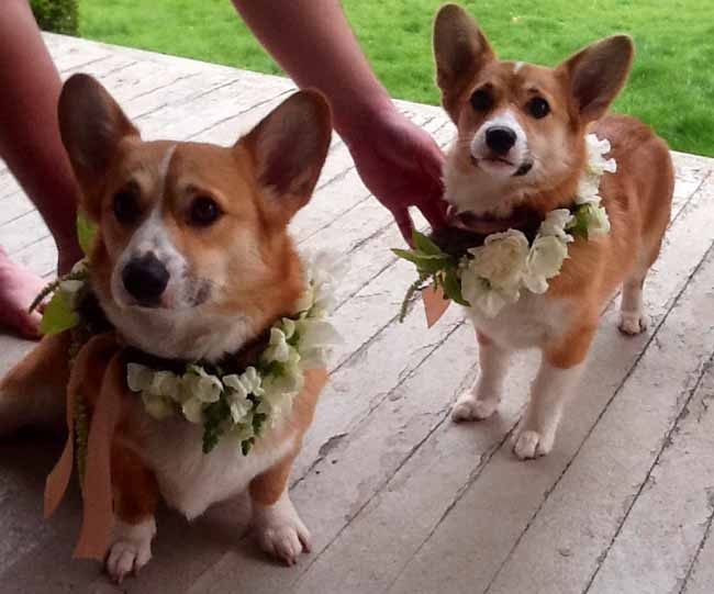 Julia's Floral, Corgis with flower collars