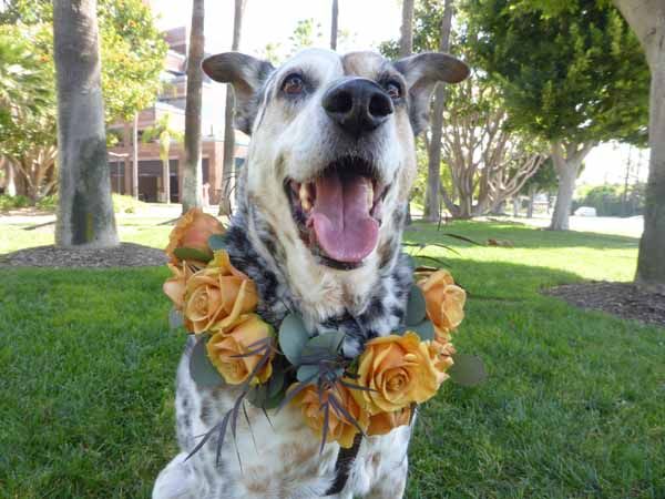 Blossom Alliance, Art The Dog wearing a flower halo of copper orange roses