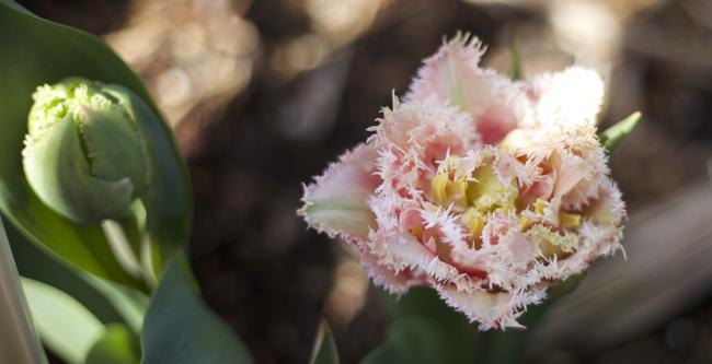 RoozenGaarde - Queensland Tulip, blush pink fringe edge tulip