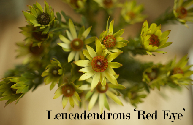Leucadendrons - Red Eye by Resendiz Brothers Protea Growers