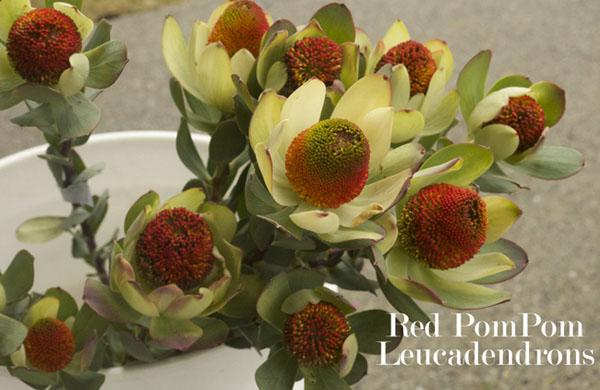 Red Pom Poms Leucadendrons by Resendiz Brothers