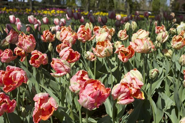 RoozenGaarde, Salmon Parrot Tulip
