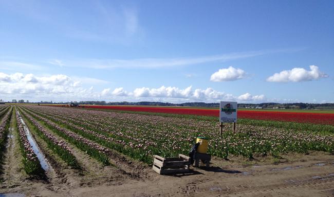 RoozenGaarde, fields of tulips in bloom in Washington