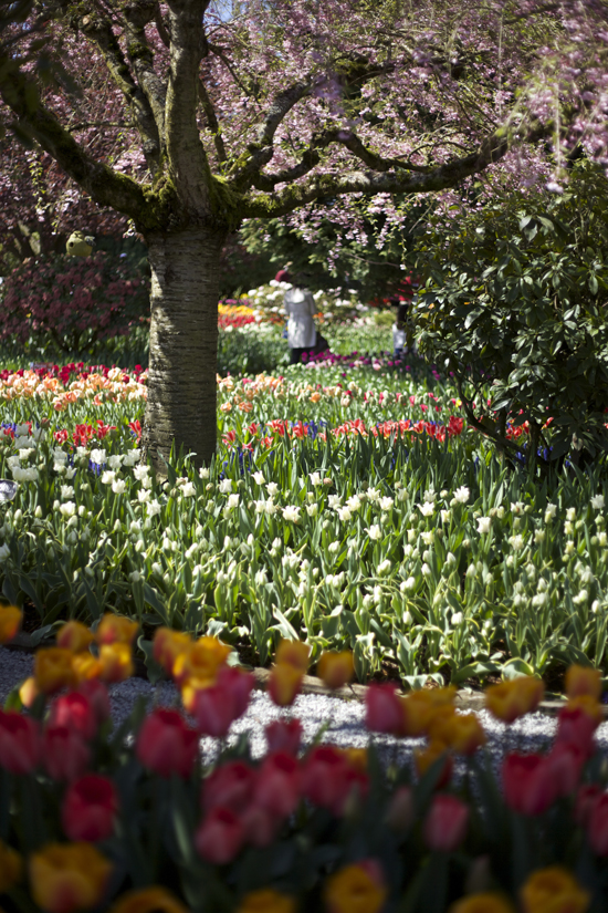 RoozenGaarde, Tulip, Hyancinth and Daffodil display gardens