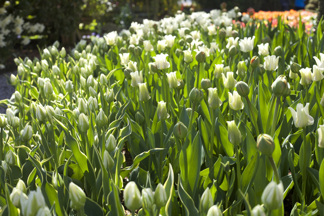 RoozenGaarde, green and white tulips