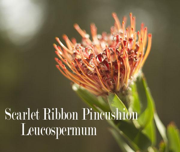 Scarlet Ribbon Pincushion Leucospermum by Resendiz Brothers