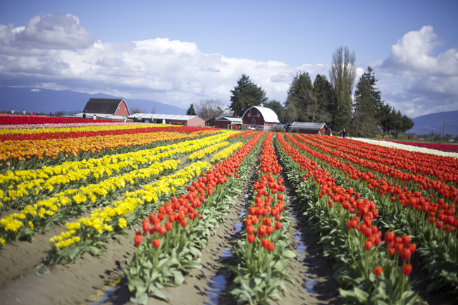 Tulip Town, rows of yellow and orange tulips