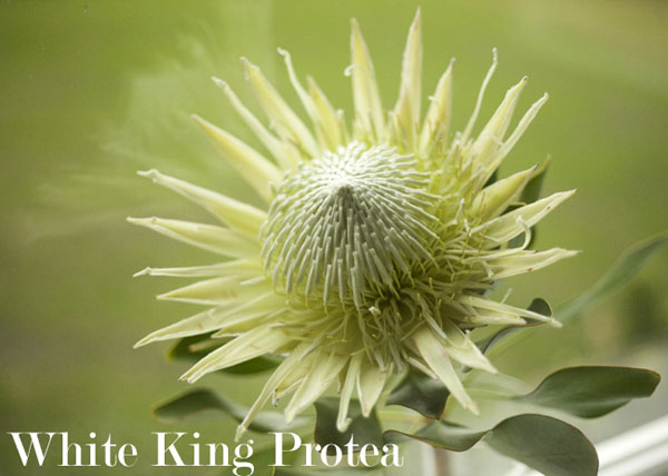 White King Protea by Resendiz Brothers