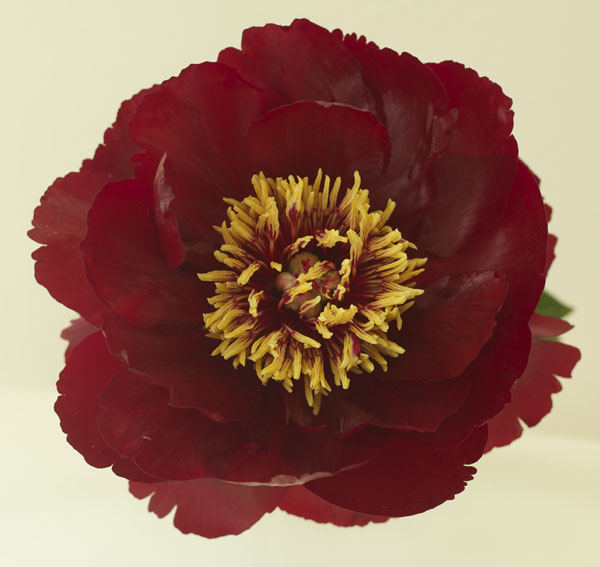 Buckeye Belle Peony by Jello Mold Farm