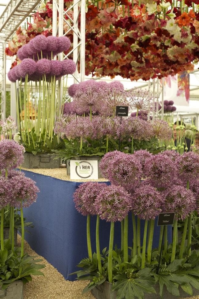 RHS Chelsea Flower Show - Allium Display