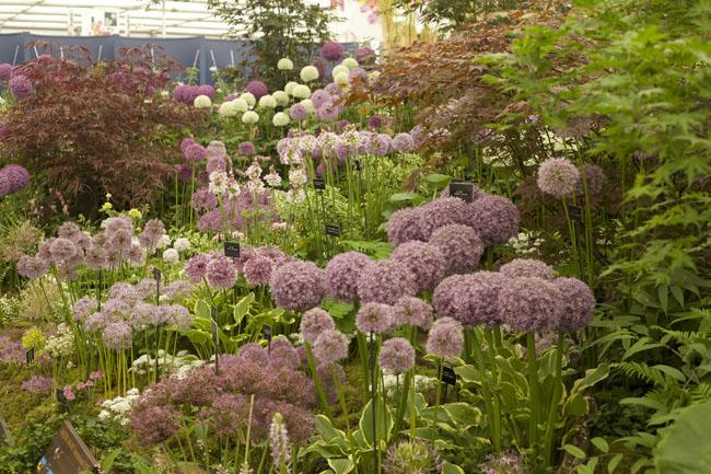 RHS Chelsea Flower Show - Allium Garden