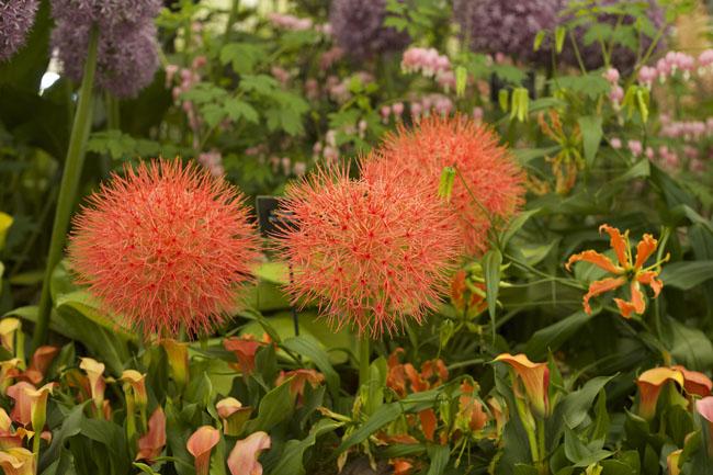 RHS Chelsea Flower Show - Orange Allium