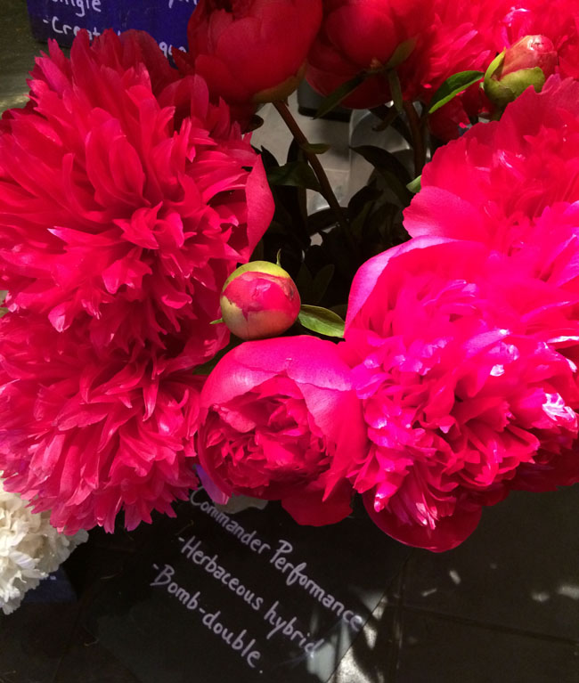 Neill Strain - Passion for Peonies - Commander of Performance Peonies
