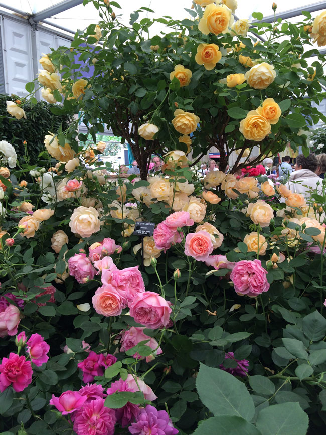 RHS Chelsea Flower Show - David Austin Garden Roses