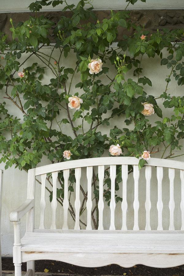The beautiful William Morris Climbing rose at David Austin Rose Gardens in England.