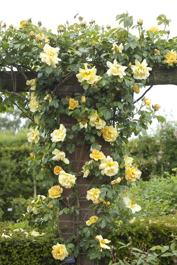 Yellow Climbing Rose seen at David Austin Rose Gardens, England
