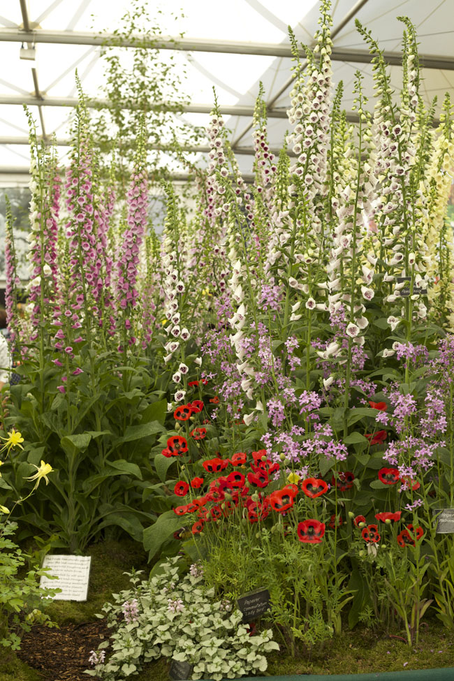 RHS Chelsea Flower Show - Foxgloves and Poppies