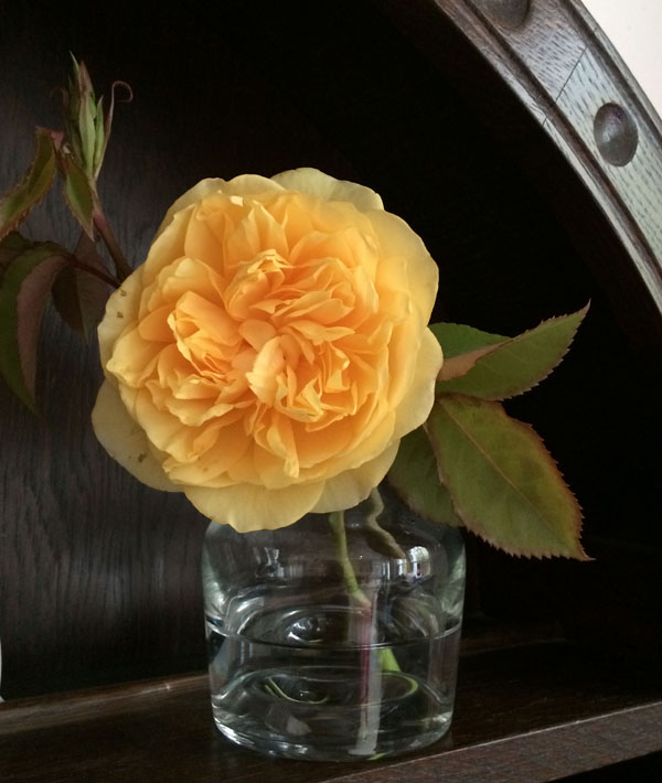 Graham Thomas English Garden Rose
