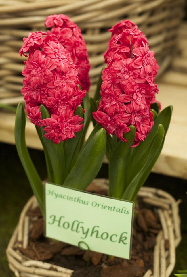 RHS Chelsea Flower Show - Hollyhock Hyacinth