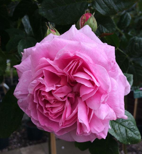 Hot Pink Garden Rose